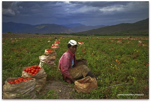 El Pela Tomates