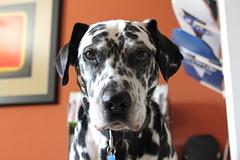 Benny - Dalmatian (Dsirkin) Tags: dogs puppy mix shepherd pei dalmatian beasts shar dogo argentino