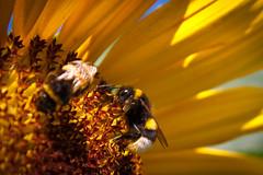 harvesting (Stefan Lorse) Tags: summer sun flower macro work germany deutschland wings eyes sommer saxony naturallight bumblebee honey sunflowers sachsen augen blume sonne hummel harvesting arbeiten honig flügel nachaufnahme natürlicheslicht ernten sonnnenblume canoneos50d canonef24105mmlf14isusm