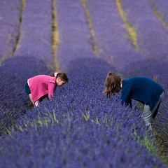 The Lavender Pickers (Bill  M) Tags: flowers england copyright landscape bill martin lavender places cameras hertfordshire hitchin hitchinlavender olympuse3 cadwellfarm copyrightbillmartin copyrightbillmartin2012