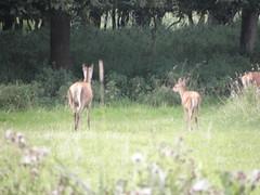 Natuurpark Lelystad 117 (cermivelli) Tags: nature natuur reddeer flevoland natuurparklelystad edelhert edelherten