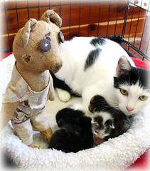 Burton visits the newborn kittens (2 of 2) (DollyBeMine) Tags: bear old rescue cute beautiful animal cat vintage mom toy stuffed kitten doll babies teddy sweet antique kittens plush litter foster mohair newborn chic care rescued primitive shabby burtonthebear