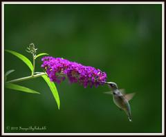 Purple... (Blue-Sky Pink) Tags: bird hummingbird ouryard 500mm hbw animalkingdomelite imagesbytakache copyright2012 d090726