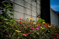 1006936 (yu_DP+) Tags: street summer flower landscape raw general contemporary rangefinder chiba  japanesestyle  zm abiko  adobelightroom leicam9 cbiogont2835