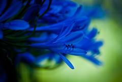 aZUL (Hansis y Greta) Tags: blue flower color verde green nature colors azul bokeh flor colores sonydsc natulaleza ltytr1