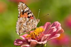 Vanessa Cardui (Danny_Little) Tags: nature butterflies insects romania closeups bucuresti sigma105mmf28exdgmacro nikond90 vannesacardui