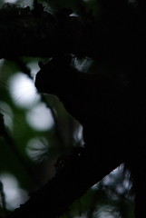 baffi da...penombra (MILESI FEDERICO) Tags: parco natura gran itali obra animale controluce rami bosco scoiattolo naturale baffi milesi penombra salbertrand visitpiedmont granbosco
