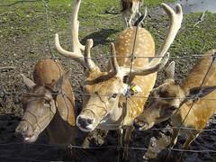 Fife Deer Park v6 (McColl Family) Tags: st inn andrews peat pittenweem monans