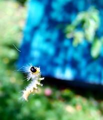 Floating Silk Worm? (~Bella189) Tags: floating olympus marco shallowdof coaticook challengegamewinner achallengeforyou sikworm storybookwinner showbizsweepwinner olympustg820