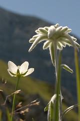 Edelwei (Monalisi) Tags: white mountain flower blossom edelweis leontopodium nivale