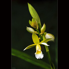 Pretty orchid (-clicking-) Tags: light orchid flower macro nature floral beautiful beauty closeup garden petals spring flora pretty dof natural blossom charm bloom charming springtime phonglan lighitng colorsonblack bloominh vietnameseflowers