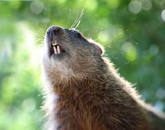 More peanuts? (Iskou-Hee) Tags: groundhog teeth edwardsgardens iskouhee