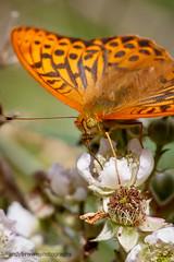 Silver-washed Fritillary (ABPhotosUK) Tags: animals butterflies canon dartmoor devon ef100400mmisii ef25mmextensiontube eos7dmarkii invertebrates lepidoptera macro nymphalidae rivertavy silverwashedfritillary wildlife