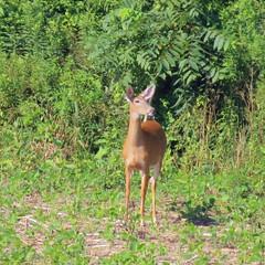 Saturday morning on Dale's Ridge Trail (fishhawk) Tags: deer whitetaileddeer dalesridgetrail morning field lewisburgpa july