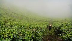 Kemuning Tea Plantation (MrCrisp) Tags: solo java indonesia tea plantation field agriculture asia farming green mist landscape travel travelling