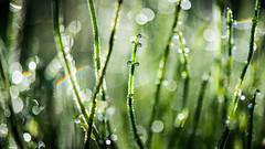 Dewdrops and Rainbows (lkaldeway) Tags: light macro nature water closeup dewdrops rainbow bokeh outdoor background drop depthoffield dew rainbows greengrass