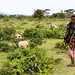 Young boy herding small ruminants