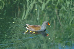 SAM_0931 (Duncan.B) Tags: wwtbarnes wildlife london barnes samsungnx samsung nx10 commongallinule gallinulagaleata