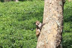 #monkey #tea_garden #sylhet (Tawhidul Islam Real) Tags: teagarden sylhet monkey