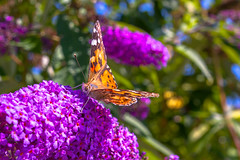 Butterfly (tecgen) Tags: karlsruhe badenwrttemberg deutschland sigmaart1835f18 butterfly schmetterling bokeh art flowers macro