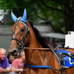 070fotograaf_20160728_040.jpg (070fotograaf, evenementen fotograaf) Tags: harnessracing racing draverij drafsport paardensport paardesport harness paardenmarkt holland netherlands nederland 070fotograaf kortebaandraverij voorschoten 2016 paarden draven kortebaan