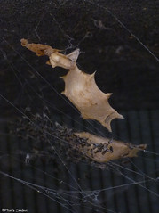 Uloborus spider + egg sacs (Geminiature Nature+Landscape Photography Mallorca) Tags: uloboridae uloborus ulobridos eggs eggsac huevos bolsa hatched uitgekomen cribellateorbweavers orb weavers wielwebkaardespinnen mallorca raynox250 dcr250 dcr macro spinnen spiders araas beb bebs babies baby spinnetjes