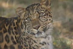 051_Great Cats Park_Leopard (steveAK) Tags: greatcatsworldpark leopard