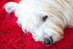 Day One Hundred and Eighty / Year Five. (evilibby) Tags: bongo dog red white fluffy project365
