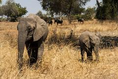 Zambia_LionCamp_165_elephant (atkiteach) Tags: zambia southluangwanationalpark southluangwa safari safaricamp camp nature naturereserve holiday rural africa lioncamp elephants elephant elephantcalf calf