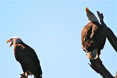 Mating Pair/Bald Eagles (Haliaeetus leucocephalus) (Alex Parr Photography) Tags: bald eagles haliaeetus leucocephalus mated pair
