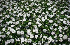White Blooms (mp13 nhnc) Tags: white green longwoodgardens petals