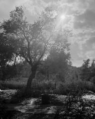 Olive Harvest 2015 (Thodoris Tzalavras) Tags: photography speedgraphic xrayfilm trees oliveharvest thesun clouds autumn cyprus cy