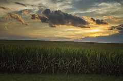 The Vast Corn Fields of Illinois (SteveFrazierPhotography.com) Tags: bardolph mcdonoughcounty illinois il country countryside corn field sunset evening clouds beautiful august summer landscape scene scenery stevefrazierphotography horizon