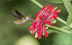 Ruby-throated Hummingbird (BirdFancier01) Tags: nature bird hummingbird zinnia red garden
