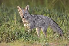 Zorro Chilla (Cristin Tapia Espinoza) Tags: zorro mamiferos canon humedal chile yali fauna
