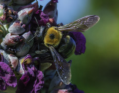 Bee_SAF7743 (sara97) Tags: bee copyright2016saraannefinke flyinginsect insect missouri nature outdoors photobysaraannefinke pollinator saintlouis towergrovepark
