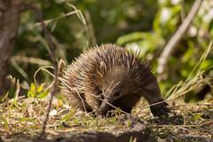 Echidna (AndrewL AU) Tags: animals mammals australia echidna wildlife noosaheads queensland