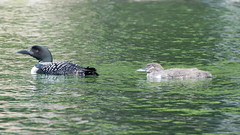 Mama and baby loon13 (rogue0075) Tags: bluesea cottage ducks loons