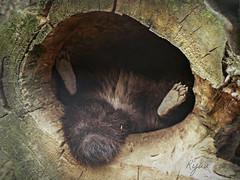 tanuki's feet (Ryuu) Tags: raccoon feet animal portrait tail tanuki brown fur black furry cute lying treehole composition funnypose sleeping claws hollow kawaii soles raccoondog