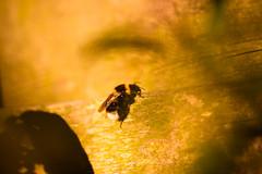 Summer (Eera Photography) Tags: bee summer goldenlight warm warmth eeraphotography machartcustoms garden insect insectphotography sun
