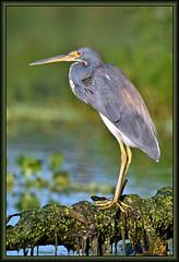 Lance-a-Lot (WanaM3) Tags: wanam3 nikon d7100 nikond7100 texas pasadena clearlakecity horsepenbayou bayou nature wildlife canoeing paddling heron tricoloredheron