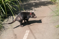 Tasmanian Devil at the Taronga Zoo in Sydney (Mister Bunny) Tags: australia sydney tarongazoo zoo mosman newsouthwales au tasmaniandevil