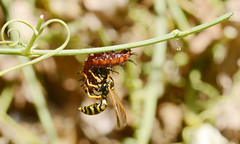 wasp_2023 3 (pho-tog) Tags: attack gulffritillary europeanpaperwasp