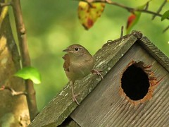 House Wren (Photos by the Swamper) Tags: birds wrens housewren