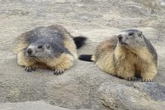Murmeltier (Tim-Jger) Tags: marmot murmeltier