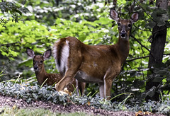 Protective Mother (C. P. Ewing) Tags: deer fawn animal nature natural outdoor outdoors animals mother widlife wooded woods doe