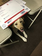 "Calvin works on ""Under"" (hero dogs) Tags: dog labrador cute therapydog servicedog"