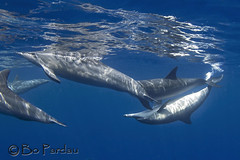 Dolphin love (bodiver) Tags: hawaii kailua kona ambientlight wideangle blue reflection dolphins naia fins freediving snorkeling ocean nature