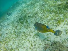 Boxfish Maledives