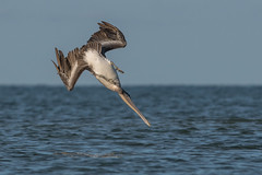 Pre-Plunged Pelican (PeterBrannon) Tags: bird brownpelican florida nature pelecanusoccidentalis pelicans sarasotacounty water wildlife landing ocean splash diving